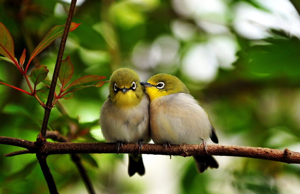 Japanese white eyed love birds