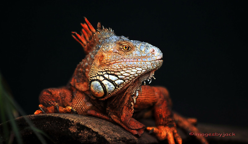 """Red Iguana: This photo just won third place in the April 2010 edition of Popular Photography in the """"Your Best Shot"""" contest."""
