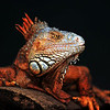 Red Iguana: This photo just won third place in the April 2010 edition of Popular Photography in the &quot;Your Best Shot&quot; contest.